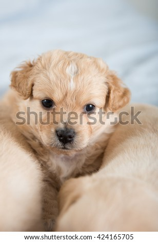 Close up of Light Colored Mixed Breed Puppy Playing on Sleeping Siblings - stock photo