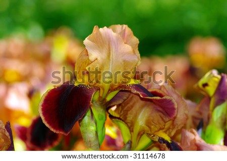 Close-up of lilac iris on the iris plant - stock photo