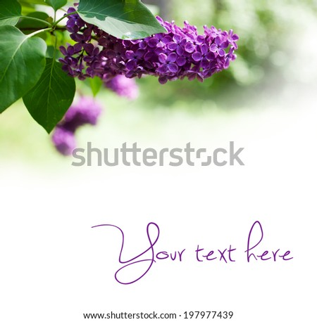 Close up of lilac tree - stock photo