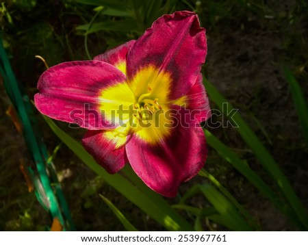 Close up of lily flower in the garden, summer flowers background. - stock photo