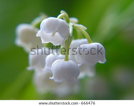 Close-up of lily of the valley - stock photo