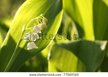 Close-up of Lily of the valley in the forest. - stock photo