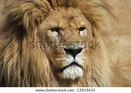 Close up of Lion (Panthera leo)