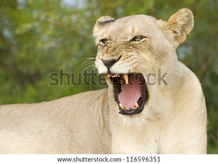 Close-up of lion's yawn - stock photo