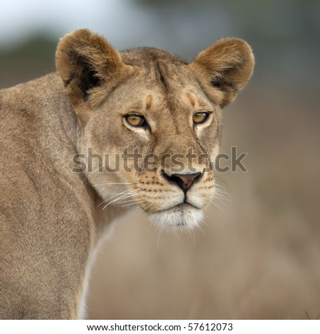 Close-up of Lioness in Serengeti, Tanzania, Africa - stock photo
