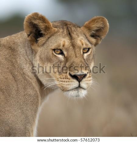 Close-up of Lioness in Serengeti, Tanzania, Africa - stock photo
