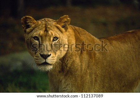 Close-up of lioness in zoo