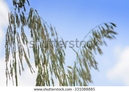 Close up of Little Millet stalk with grains. - stock photo