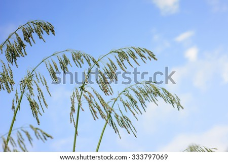 Close up of Little Millet stalk with grains - stock photo