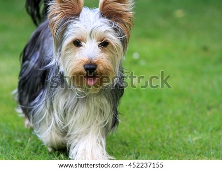 Close up of long haired Yorkshire terrier walking on green grass - stock photo