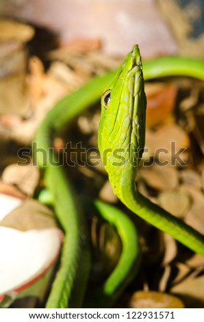 Close up of Long-Nosed Green snake or Ahaetulla nasuta, Thailand. - stock photo