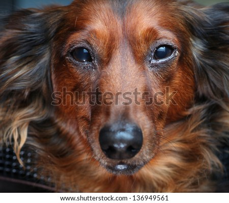 Close Up of Longhair Standard Dachshund - stock photo