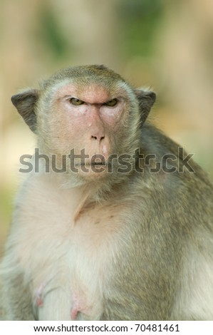 Close-up of Macaque monkey.