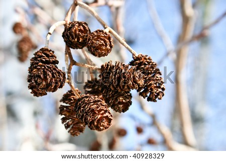 Close-up of Male Alder Catkins - stock photo