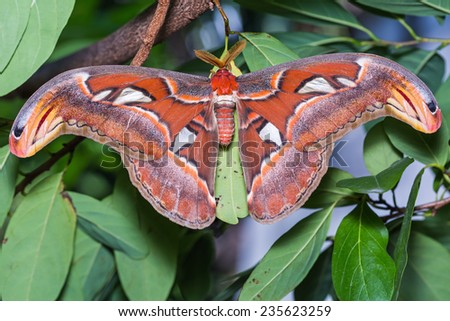 Close up of male Atlas moth (Attacus atlas) clinging on green leaf, dorsal view - stock photo