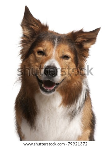Close-up of Male Border Collie, 3 years old, in front of white background - stock photo