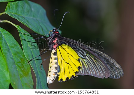 Close up of male golden birdwing (Troides aeacus) butterfly sunbathing on green leaf - stock photo