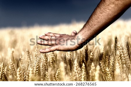 Close up of male hand touching golden wheat ear - stock photo