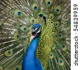 Close-up of Male Indian Peafowl displaying tail feathers - stock photo