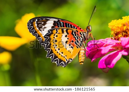 Close up of male leopard lacewing (Cethosia cyane euanthes) butterfly perching on zinnia flower - stock photo