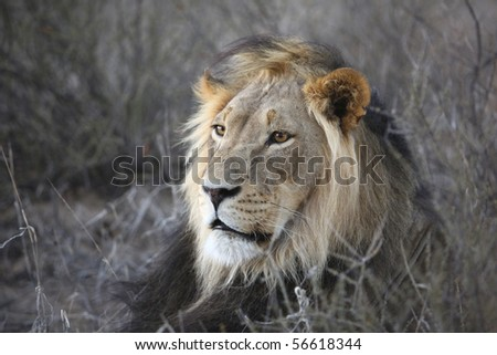 Close up of male lion - stock photo