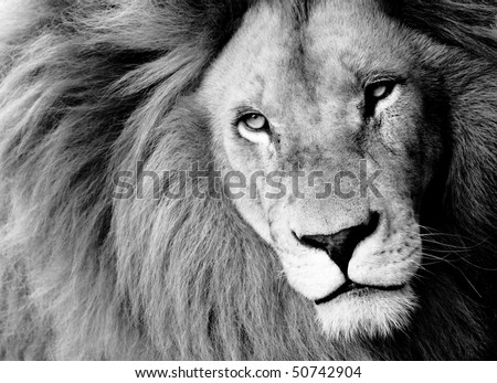 Close up of Male Lion, B&W