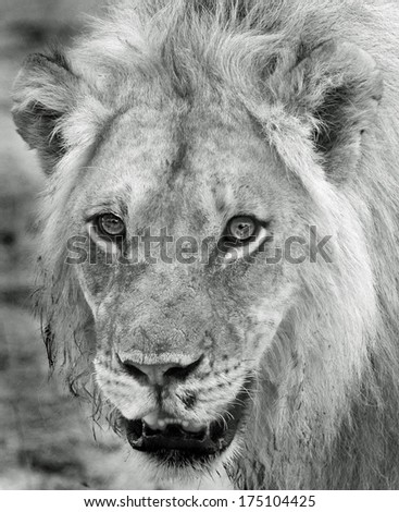 Close-up of Male Lion in black & white