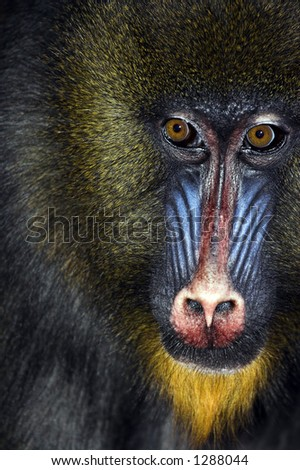 Close up of male Mandrill's face - stock photo
