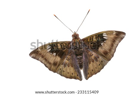 Close up of male mango baron butterfly on white background - stock photo