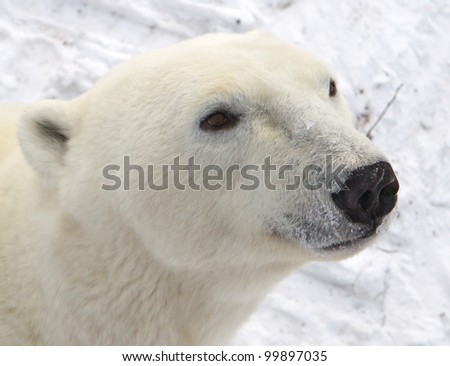 Close up of male polar bear head - stock photo