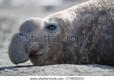 Close-up of male southern elephant seal (Mirounga leonine), South Georgia, Antarctica - stock photo