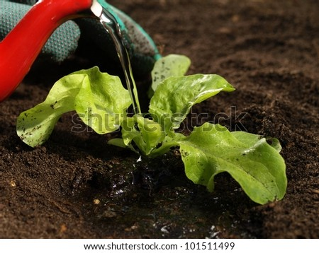Close up of man watering lettuce in the garden