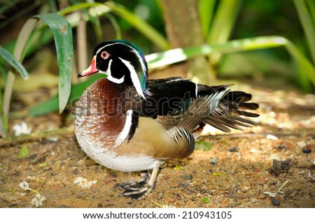 Close up of Mandarin duck (Aix galericulata) isolated on white background, selective focus.  - stock photo