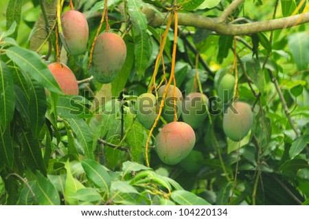 Close up of mangoes on a mango tree