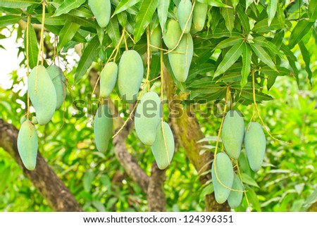 Close up of mangoes on a mango tree in  plantation - stock photo