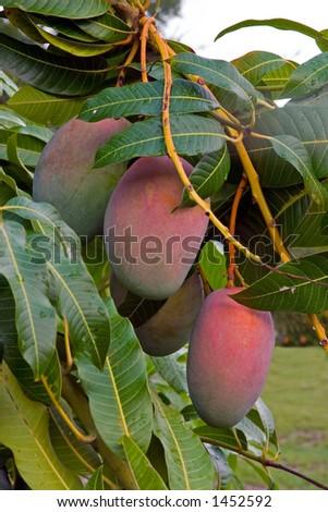 Close up of Mangos on tree in Florida back yard - stock photo