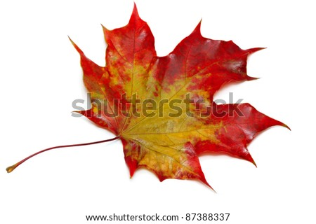 close up of maple autumn leaf isolated on white