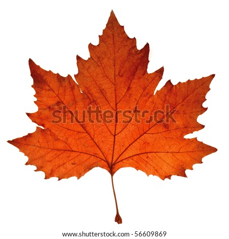 Close-up of maple autumn leaf on white