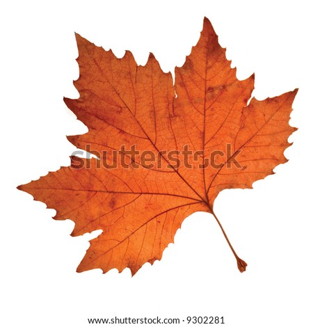 Close-up of maple autumn leaf on white - stock photo
