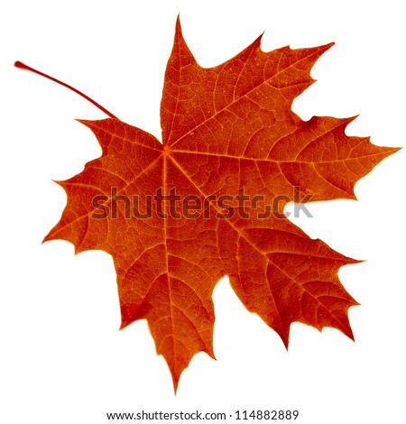 Close-up of maple autumn red leaf on white - stock photo