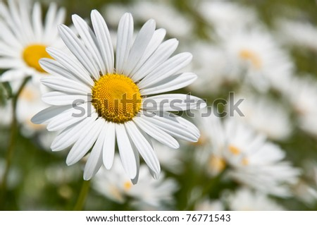 Close up of marguerites in a marguerite sea - stock photo