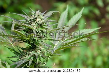 Close up of marijuana bud on green background - stock photo