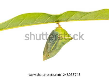 Close up of mature Mango Baron (Euthalia aconthea garuda) pupa just before its emerging, isolated on white background with clipping path - stock photo