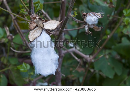 Close up of matured cotton flower and bud - stock photo