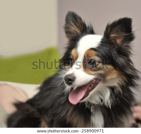 Close Up of Miniature Australian Shepherd dog sitting on a bed covered in bright pillows - stock photo