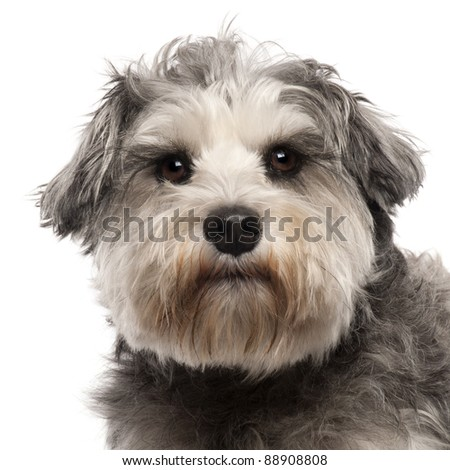 Close-up of Miniature Schnauzer, 3 years old, in front of white background - stock photo