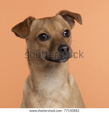 Close-up of Mixed-breed dog, 7 months old, in front of orange background - stock photo