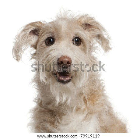 Close-up of Mixed-breed dog, 14 years old, sitting in front of white background - stock photo