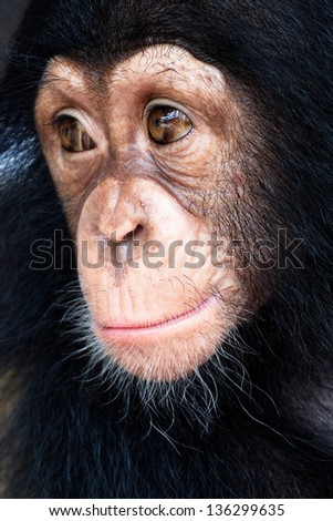 Close-up of Mixed-Breed monkey between Chimpanzee  one animal looking away chimpanzee no people bonobo animal themes cut out cut-out studio shot cross-breed wild animal looking at camera mixed  - stock photo