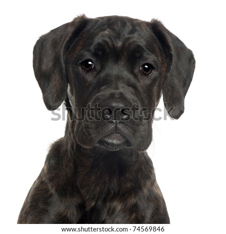 Close-up of Mixed-breed puppy, 4 months old, in front of white background